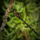 dragonfly by Loreto Bautista Jr.