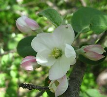 Apple Blossums  by maxy