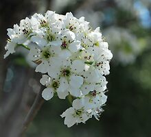 Pear blossom  by Jeff Stroud