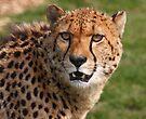Cheetah 3 by SWEEPER