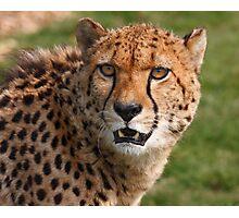Cheetah 3 Photographic Print