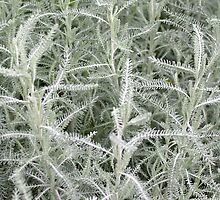 Cotton Lavender foliage (Santolina Chamaecyparissus) by Philip Mitchell