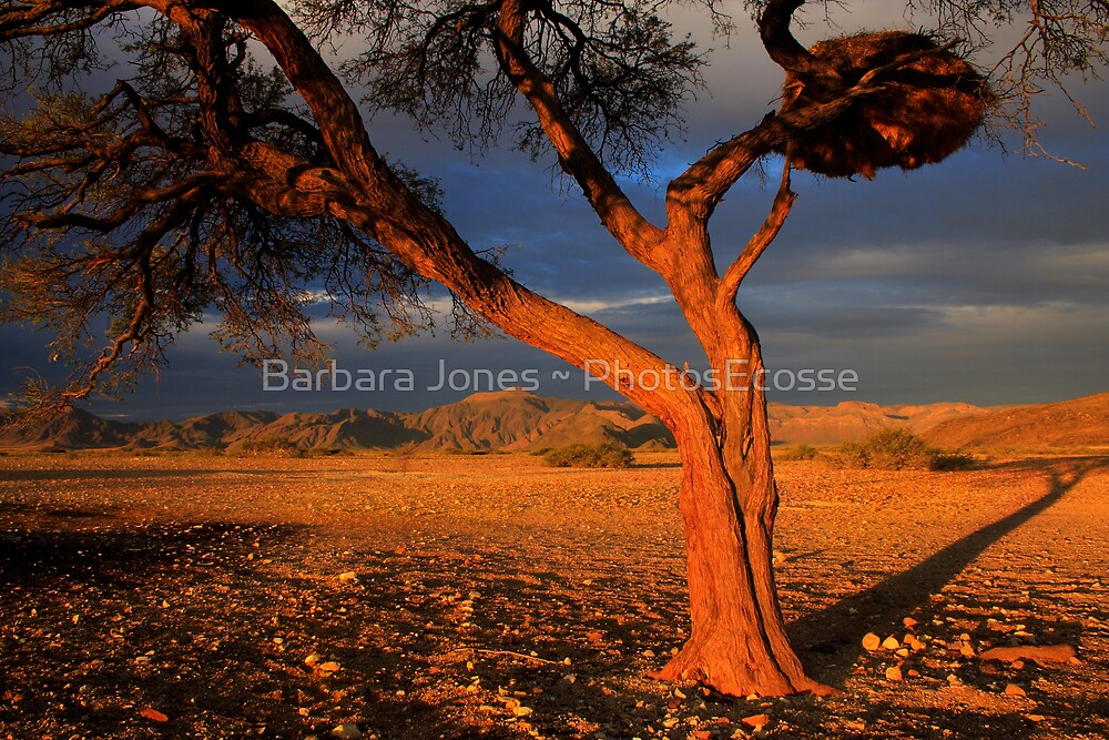 Tree and Weaver Bird Nest, Namib Desert, Namibia. Africa. by PhotosEcosse