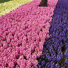 Hyacinths by Aase