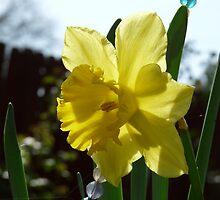 daffodil by cazcat