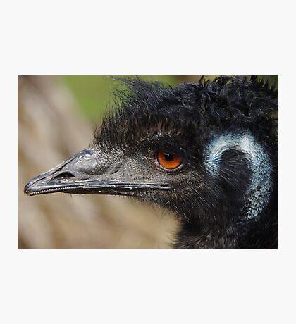 Oldman Emu Photographic Print