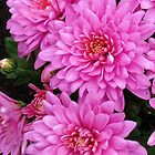 Pretty-in-Pink Dahlias by BlueMoonRose