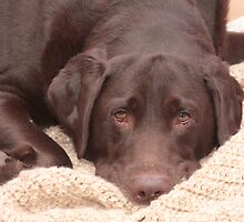 Chocolate Lab by Karl R. Martin