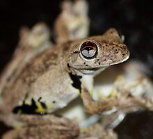Roth's Tree Frog - Litoria rothii by cathywillett