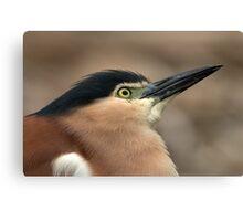 Nankeen Night Heron Look Up Canvas Print