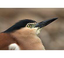Nankeen Night Heron Look Up Photographic Print