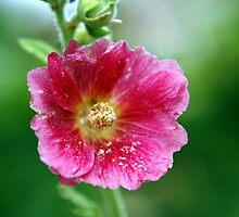 Pink Hollyhock Flower by Helena Haidner