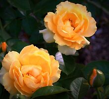 Yellow garden roses by ♥⊱ B. Randi Bailey