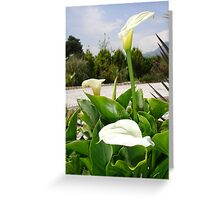 Three Cream Calla Lilies With Garden Background Greeting Card