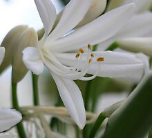 White Agapanthus  by Ruth Durose