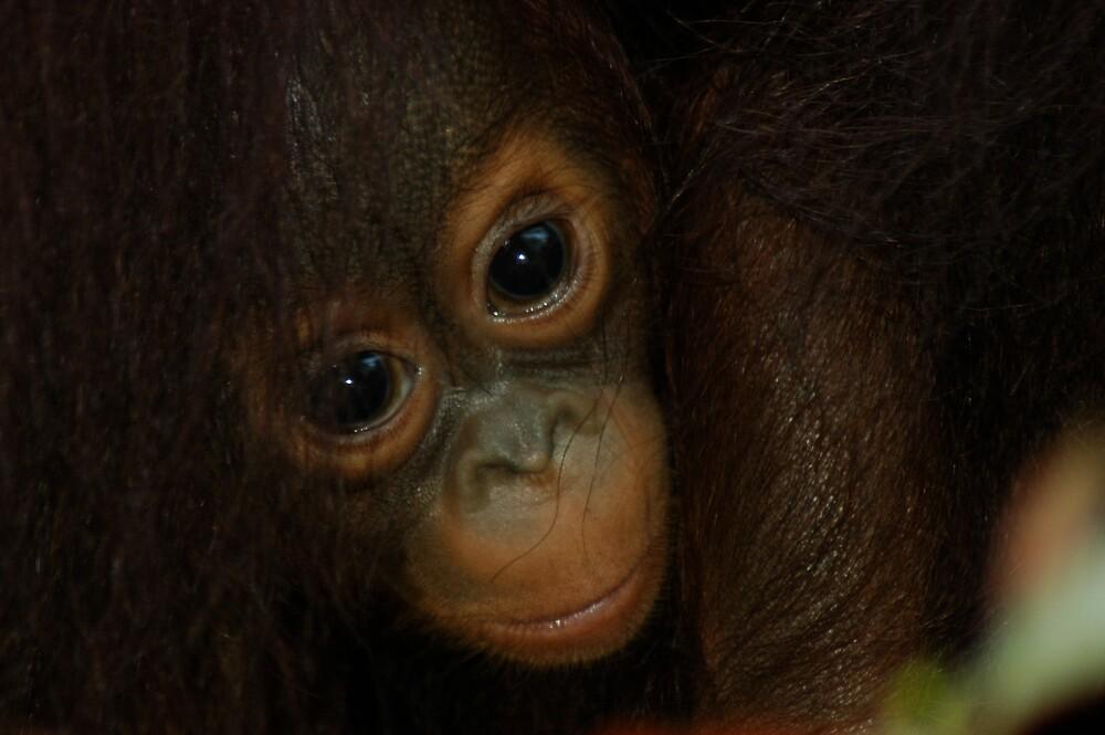 Baby Orangutan by DUNCAN DAVIE