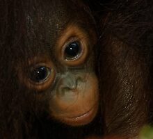 Baby Orangutan by DUNCAN DAVIE