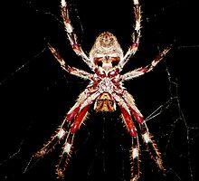 Orb-Weaving Spider  Ventral view by binjy