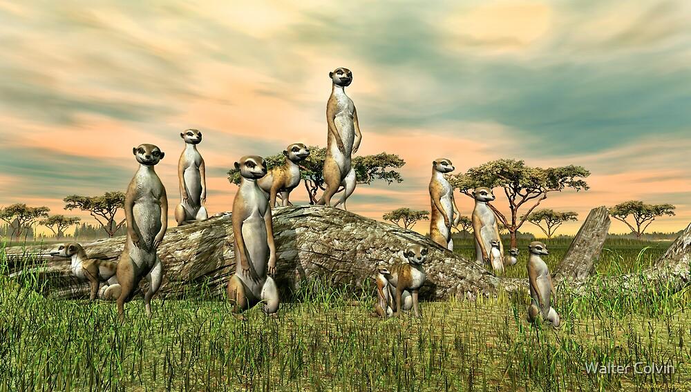Meerkats by Walter Colvin