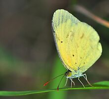Lemon Migrant Butterfly by Aaron Murgatroyd