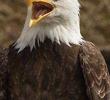 Bald Eagle I by Bob Ramsak