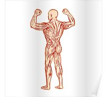 Human Muscular System Anatomy Etching Poster