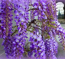 Wisteria Fragrance by Charmiene Maxwell-Batten