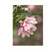 Pink Flowering Almond Art Print