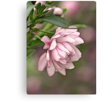 Pink Flowering Almond Canvas Print
