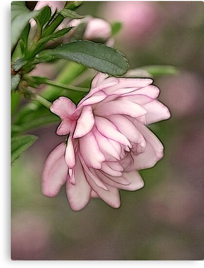 Pink Flowering Almond by Kelly Cavanaugh
