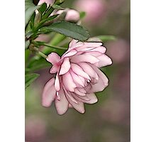 Pink Flowering Almond Photographic Print