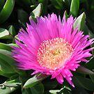 Mediterranean flower of the beaches - (Carpobrotus edulis) by Daniela Cifarelli