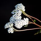 Yarrow by Faith Barker Photography