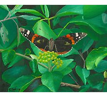 red admiral - green eyes Photographic Print