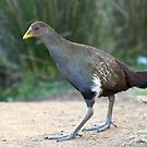 Tasmanian Native Hen by Anthony Woolley