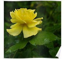 Yellow Rose Pearls Poster
