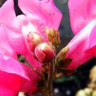 Pink Snapdragon by R&PChristianDesign &Photography