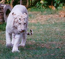 White Tiger by smallan