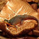 poisonous and protected...rough skinned newt by VickiOBrien