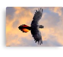 Red Tail Black Cockatoo - Flight Metal Print