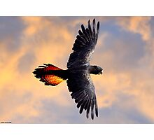 Red Tail Black Cockatoo - Flight Photographic Print