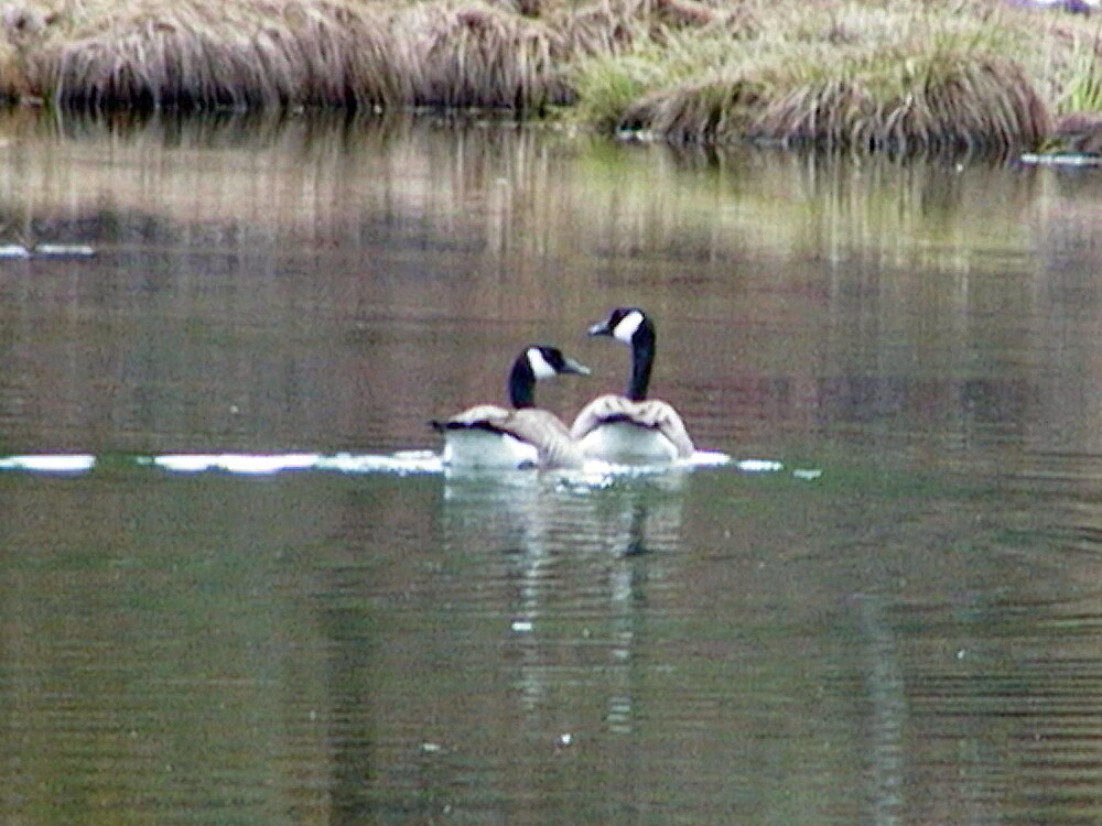 Quick Honker Daddy, paddle Faster, Buddy is watching us by Edward Henzi