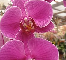 pink orchid by nancy dixon