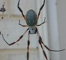 St Andrews Cross Spider by David Hunt