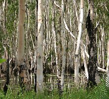 Paperbark Trees, Weipa by Heinz