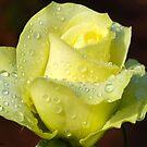 """RAINWASHED"" - crisp, refreshing a real lemon/lime rose by Magaret Meintjes"