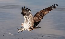 Hastings Point Osprey's Northern NSW by Ron Finkel