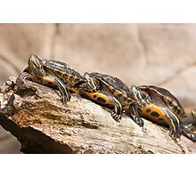 Turtles in a row Photographic Print