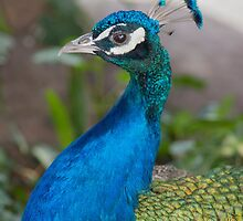 peacock blue by spetenfia