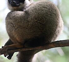 Pensive Brown Lemur by Jane McDougall